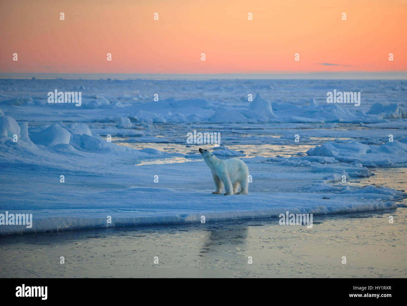 RF- Polar Bear (Ursus maritimus) on pack ice, sniffing the air at sunset, Svalbard, Norway, September 2009. Endangered - Stock Image