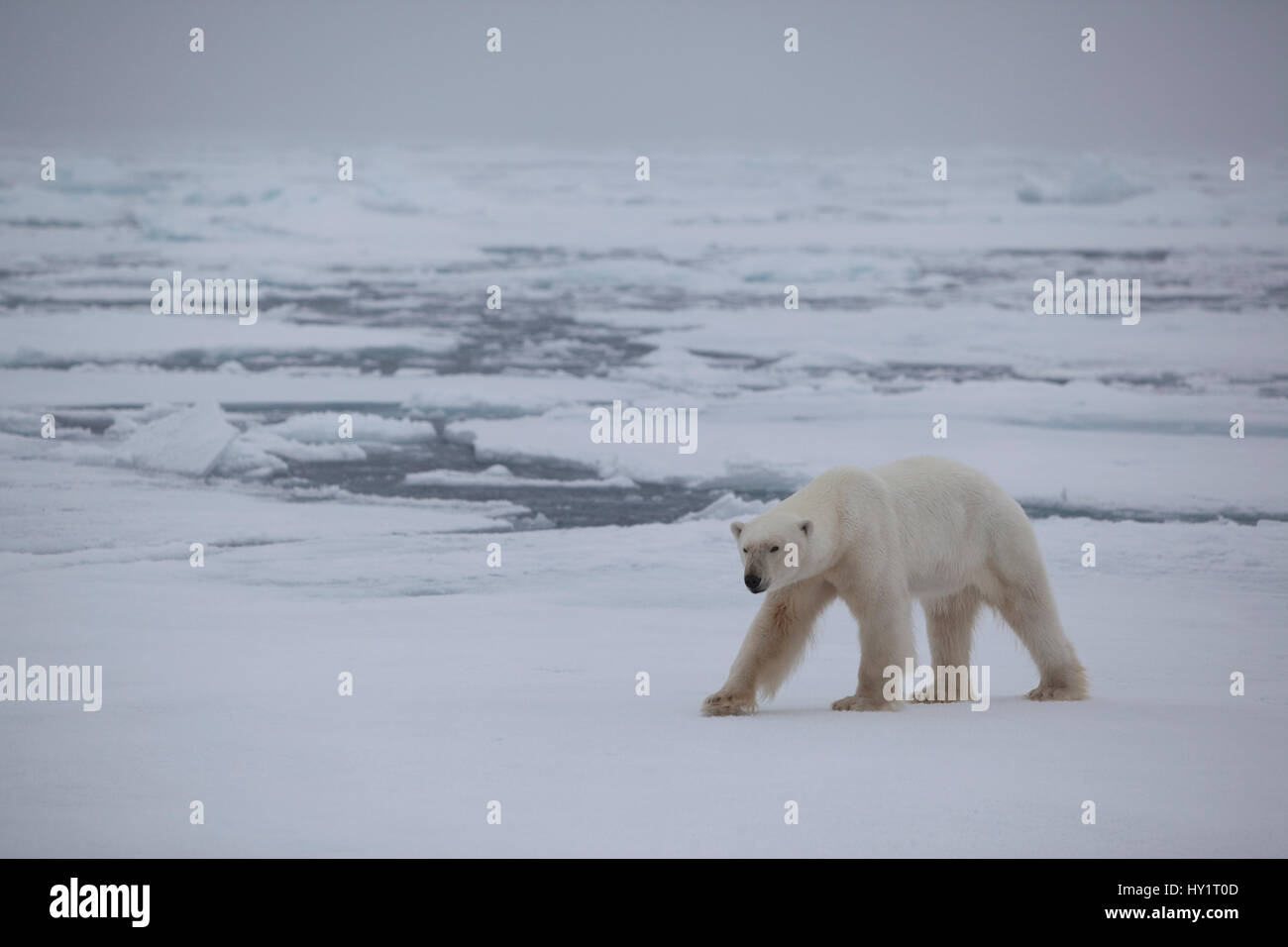 RF- Polar bear (Ursus maritimus) on ice floe, Svalbard, Norway, September 2009. Endangered species. - Stock Image