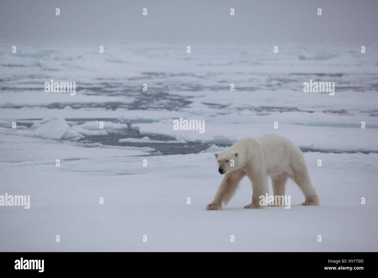 RF- Polar bear (Ursus maritimus) on ice floe, Svalbard, Norway, September 2009. Endangered species. Stock Photo