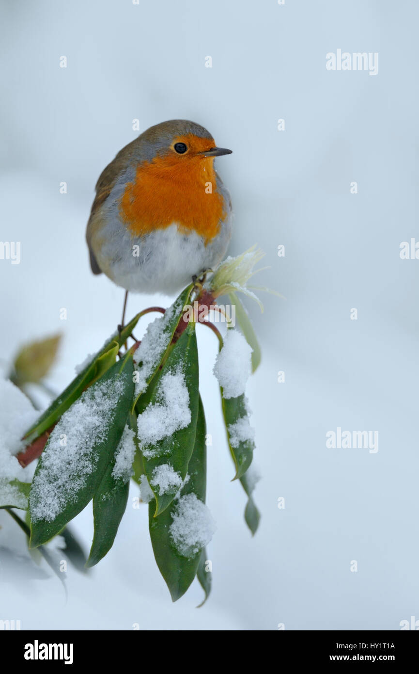 European Robin (Erithacus rubecula) perched on snow covered branches, in garden, Wales, UK. December. Stock Photo