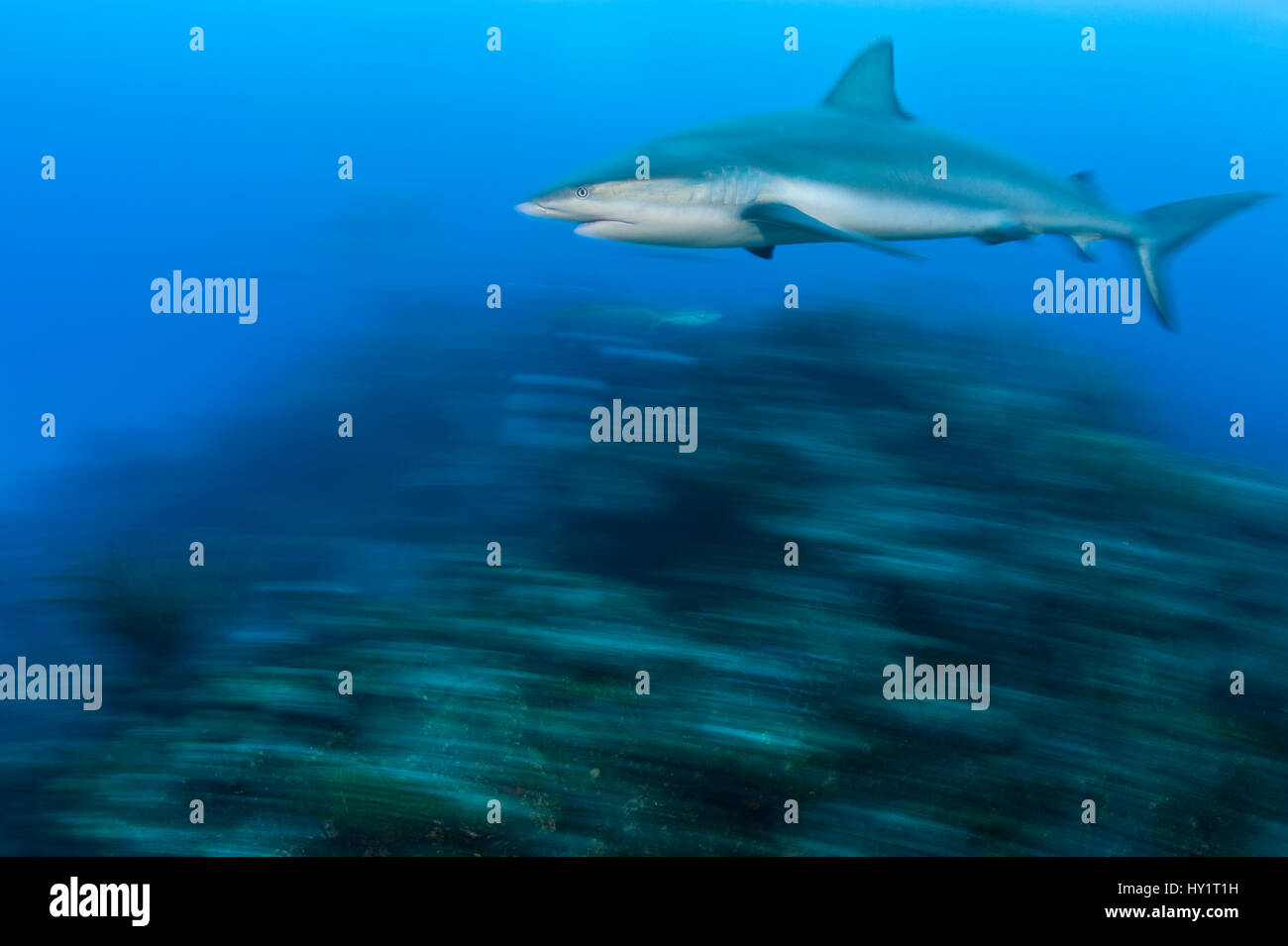 Caribbean reef shark (Carcharhinus perezi) cruises over a coral reef. Near Grand Bahama, Bahamas. Tropical West - Stock Image
