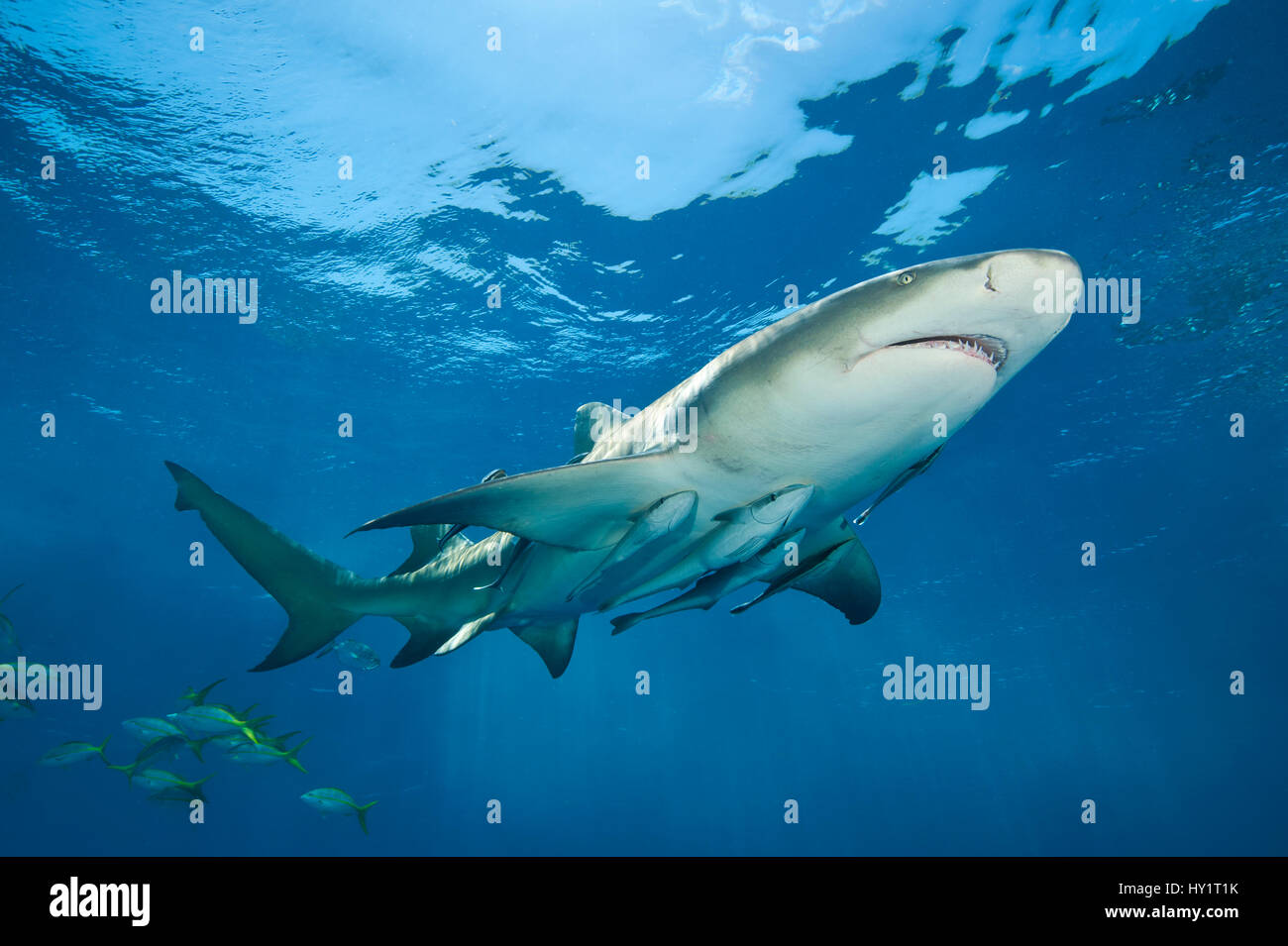 Lemon shark (Negaprion brevirostris) accompanied by Remoras (Echeneis naucrates) swimming close to surface. Grand - Stock Image