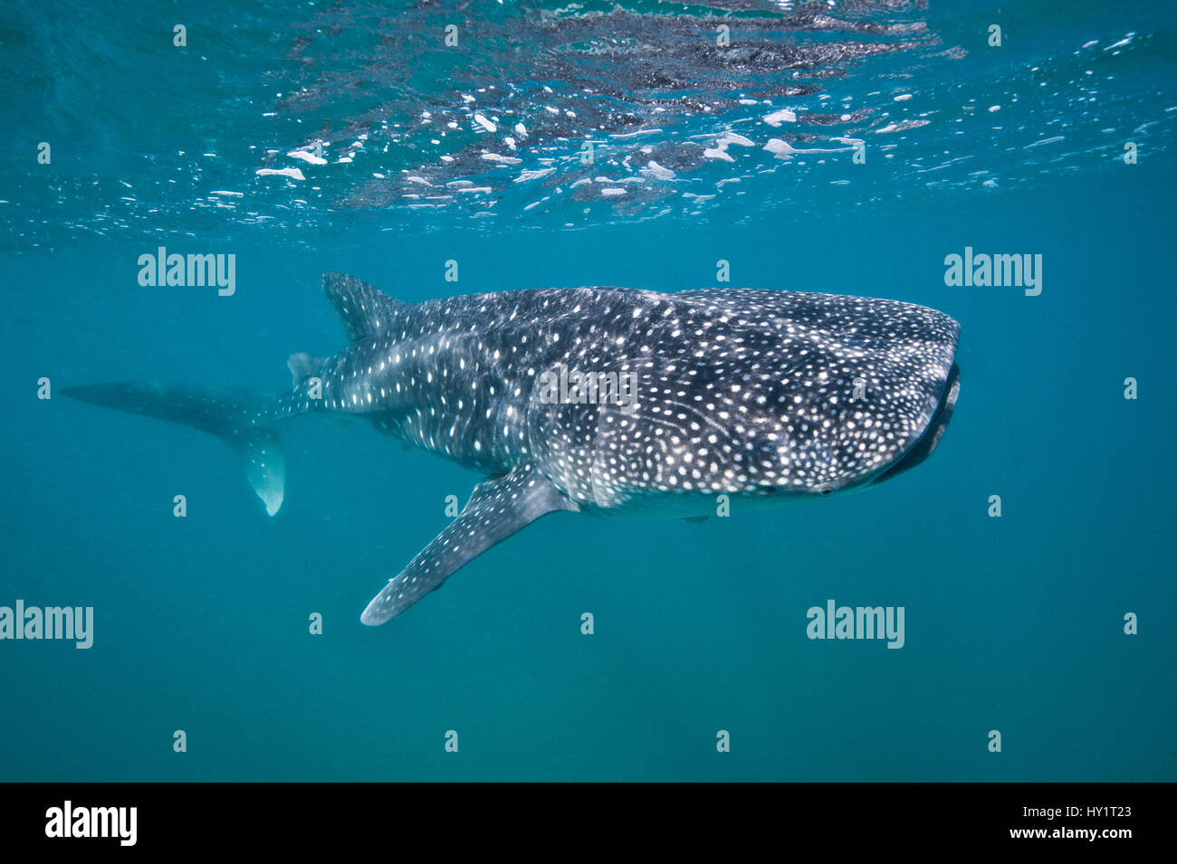 Young Whaleshark (Rhincodon typus) portrait, less than 5m in length, feeding on plankton near the surface. La Paz, - Stock Image