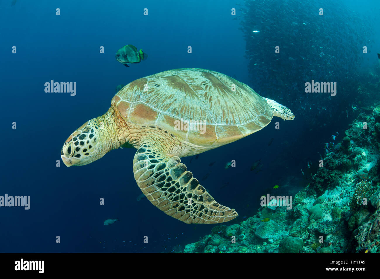 Green turtle (Chelonia mydas) with reef fish and schooling Bigeye jacks / trevally (Cranax sexfasciatus) in the - Stock Image