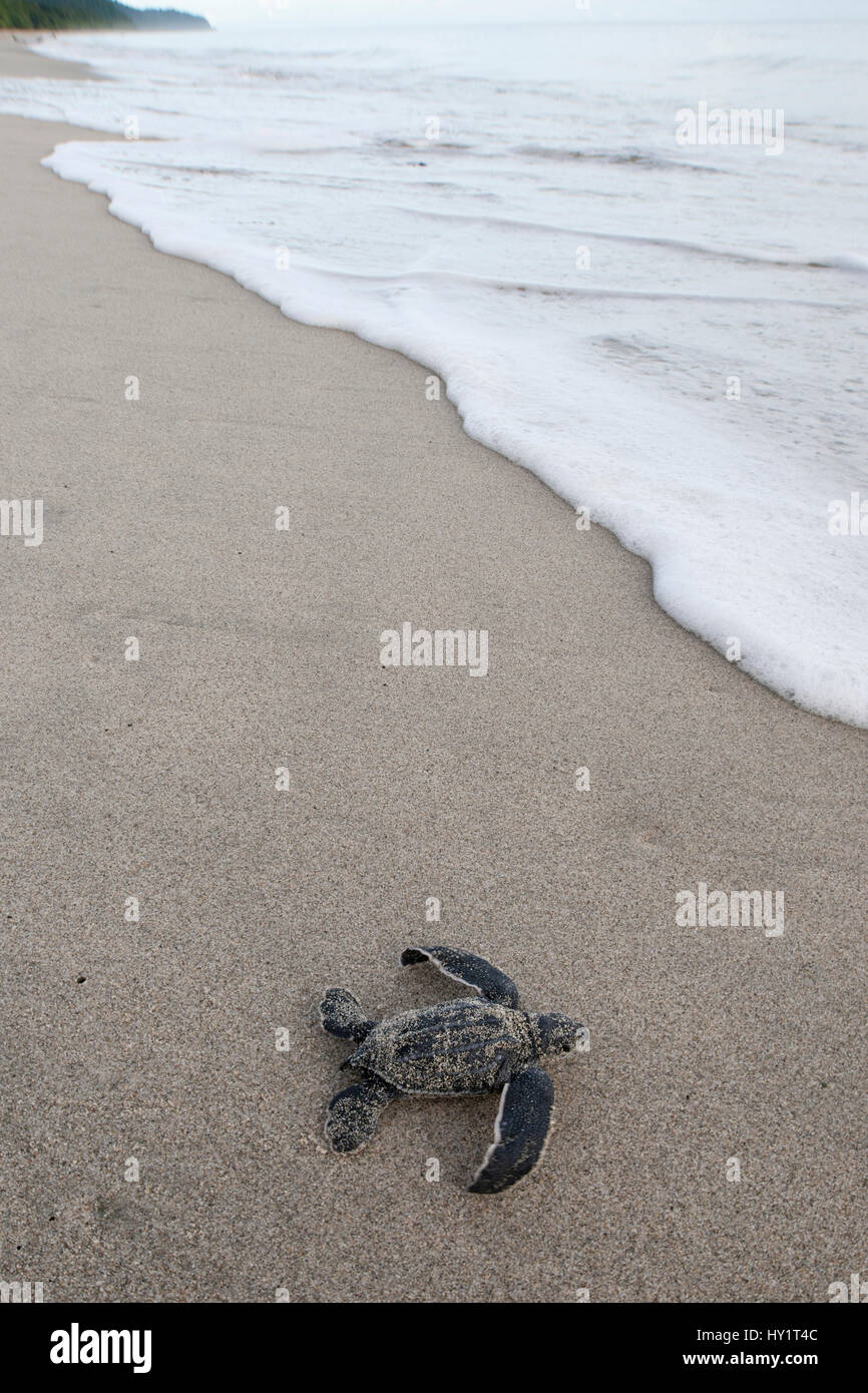 Newly hatched Leatherback turtle (Dermochelys coriacea) baby moving from the nest towards the sea. Warmamedi beach, - Stock Image