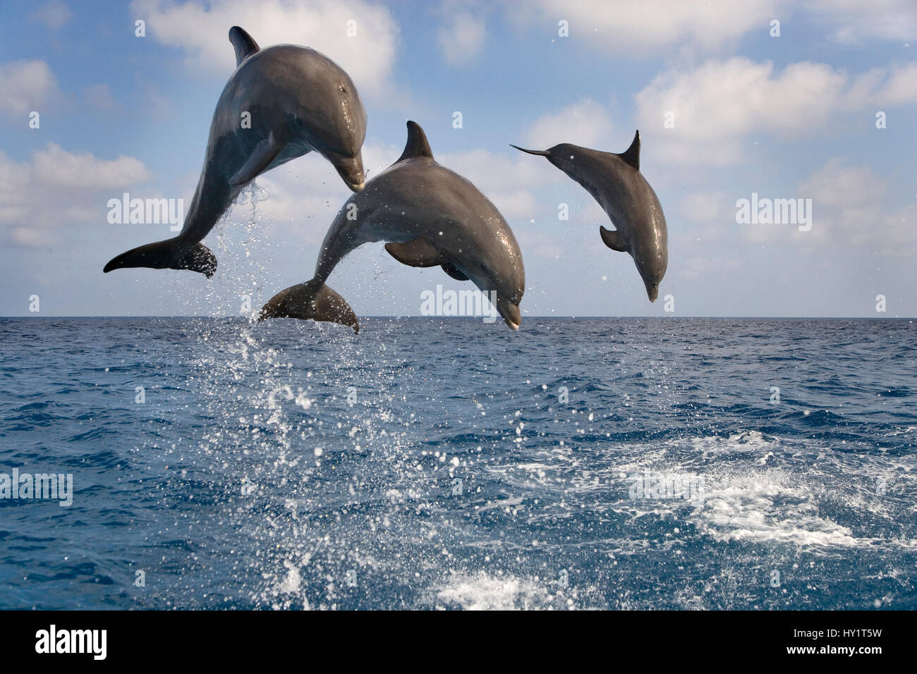 Three Bottle-nosed dolphins (Tursiops truncatus) breaching, Bay Islands, Honduras, Caribbean. Controlled conditions. - Stock Image