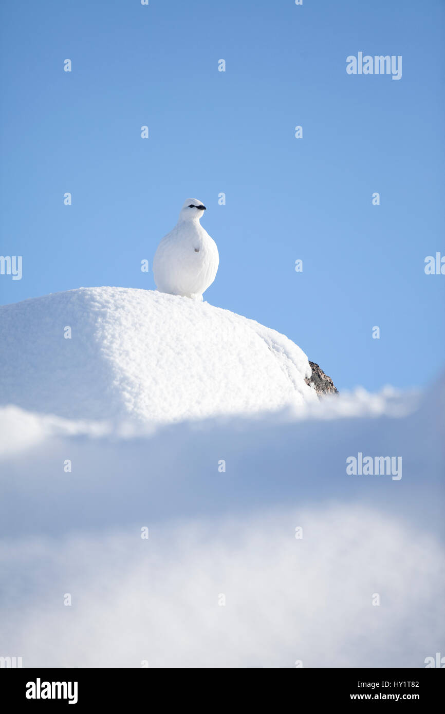 RF- Rock ptarmigan (Lagopus mutus) standing on boulder, camouflaged against snow in winter plumage. Cairngorms National - Stock Image