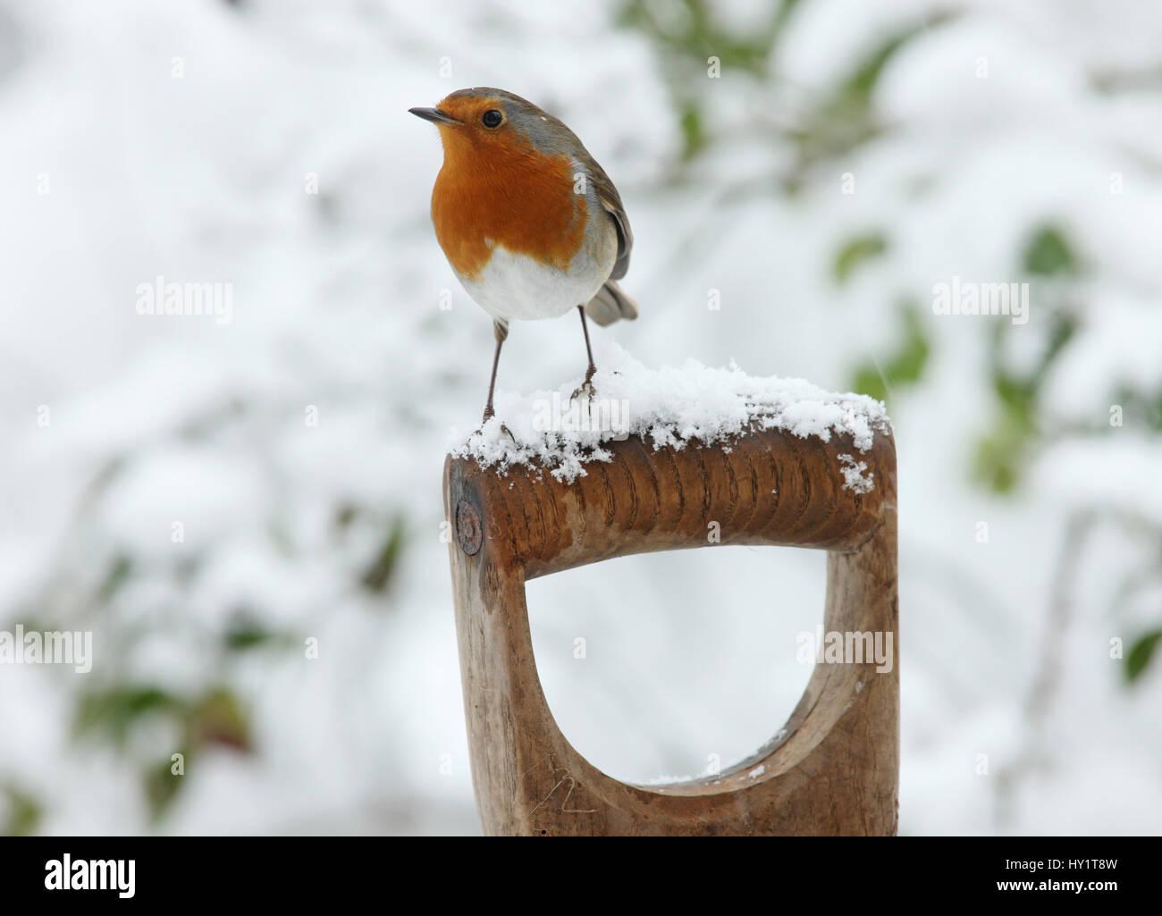 European Robin (Erithacus rubecula) male on a snowy fork handle. Surrey, UK, January. - Stock Image