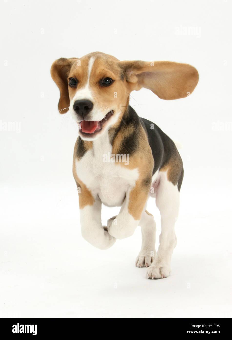 Beagle puppy running. - Stock Image