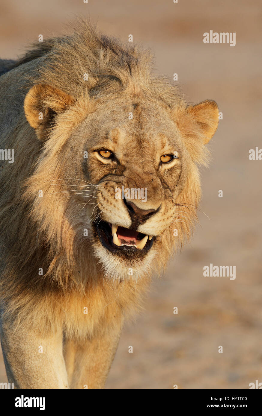 African lion (Panthera leo) young male snarling, Etosha National Park, Namibia. October. - Stock Image