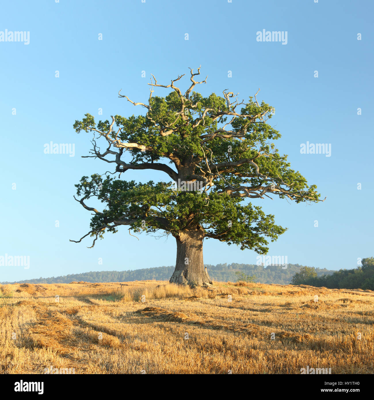 English oak (Quercus robur) tree portrait in autumn, Surrey, UK, September. - Stock Image