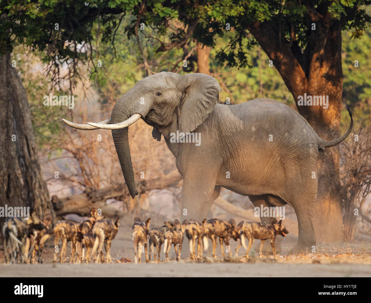 African Wild Dog (Lycaon pictus) pack interaction with adult African Elephant (Loxodonta africana). Mana Pools National - Stock Image