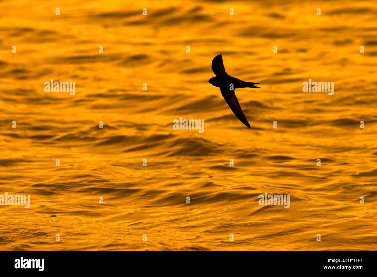 Swift (Apus apus) flying over water Titchwell, Norfolk, UK, April Stock Photo