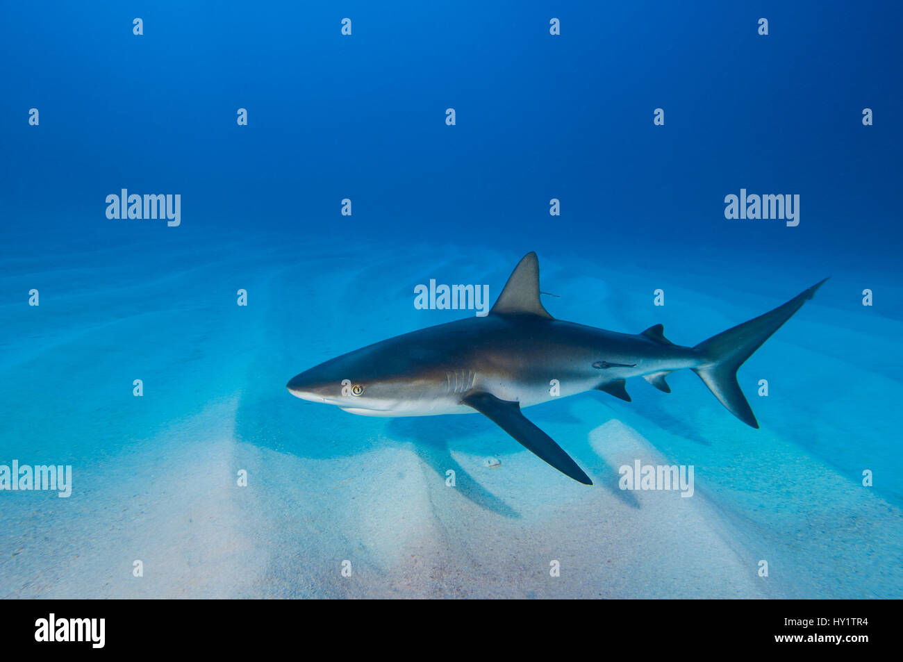 Caribbean reef shark (Carcharhinus perezi) over sand ripples. Walkers Cay, Bahamas. Tropical West Atlantic Ocean. Stock Photo