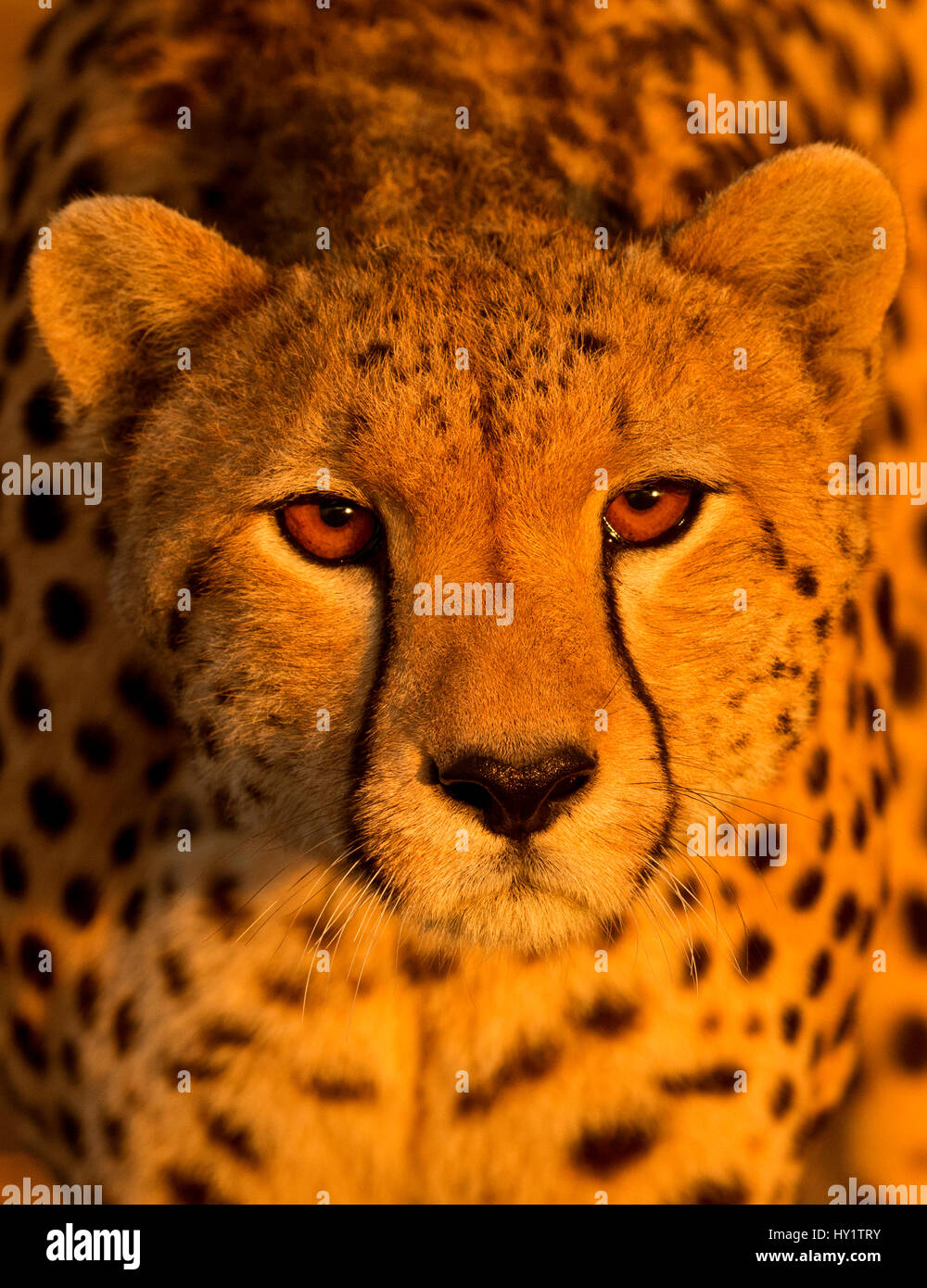 Cheetah Vertical Frame Stock Photos & Cheetah Vertical Frame Stock ...