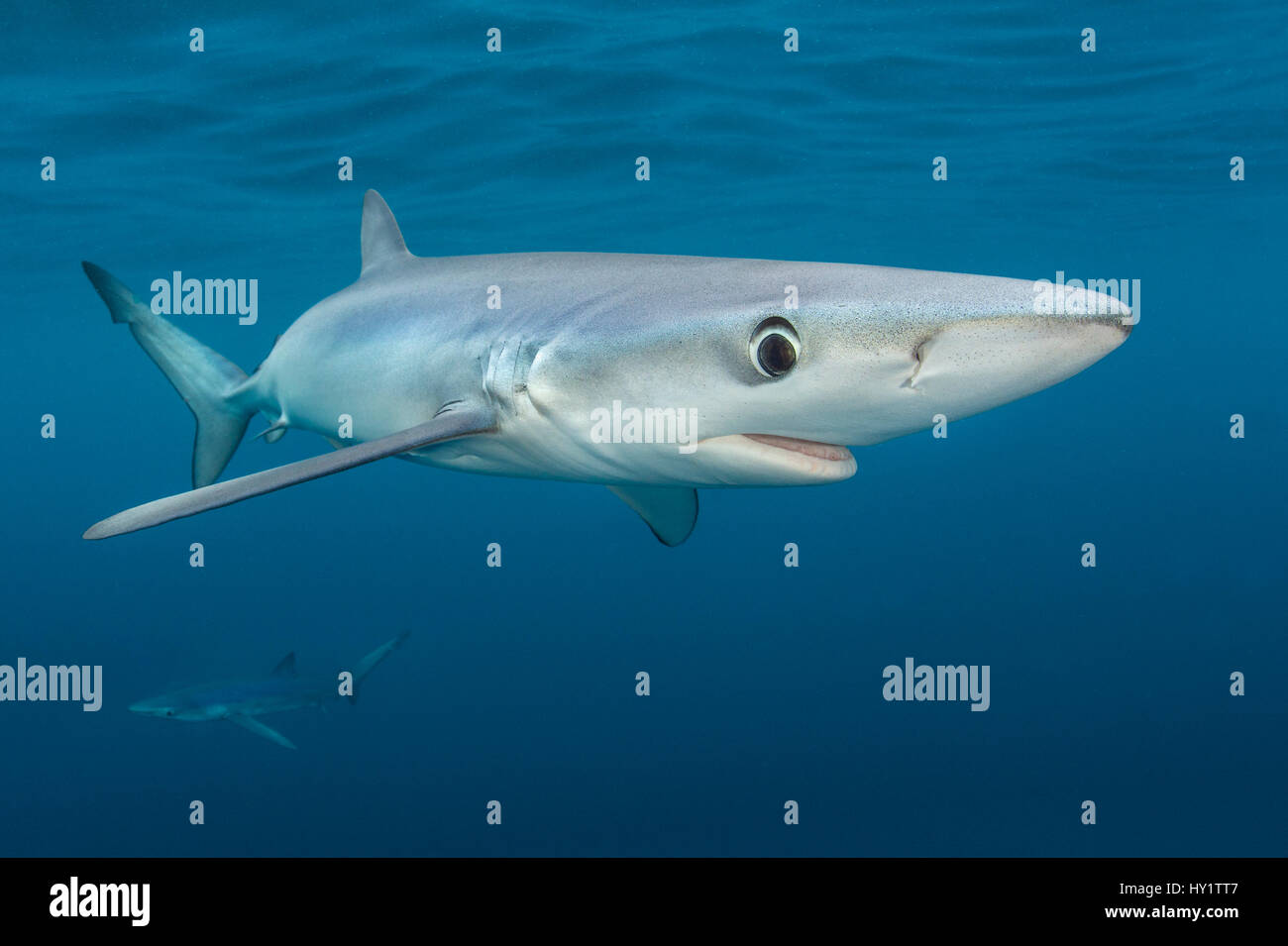 Blue sharks (Prionace glauca) cruise beneath the surface of the English Channel. Penzance, Cornwall, England, British - Stock Image