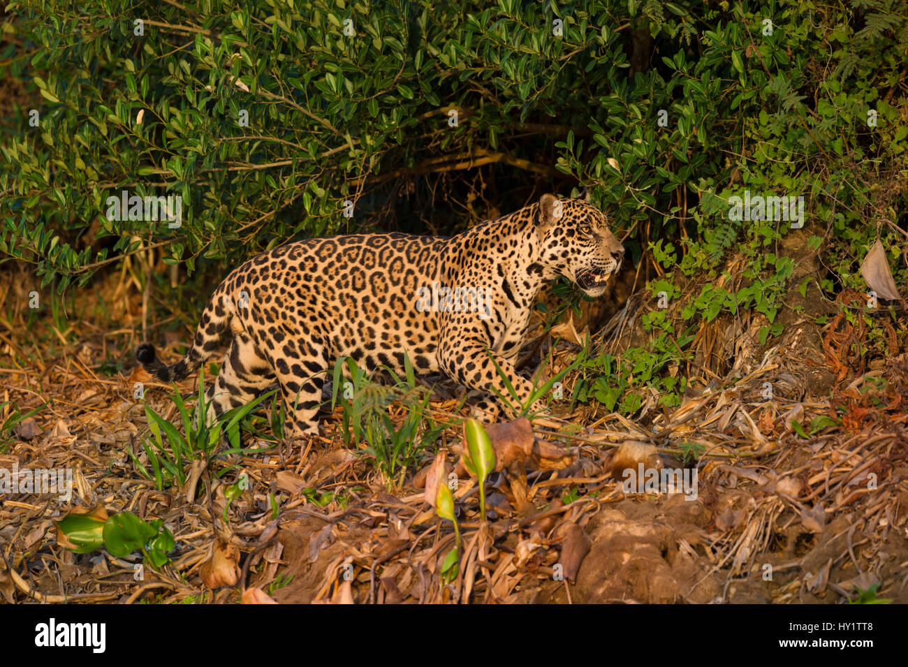Wild male Jaguar (Panthera onca palustris) stalking along  bank of Cuiaba River in late afternoon sunlight. Northern - Stock Image