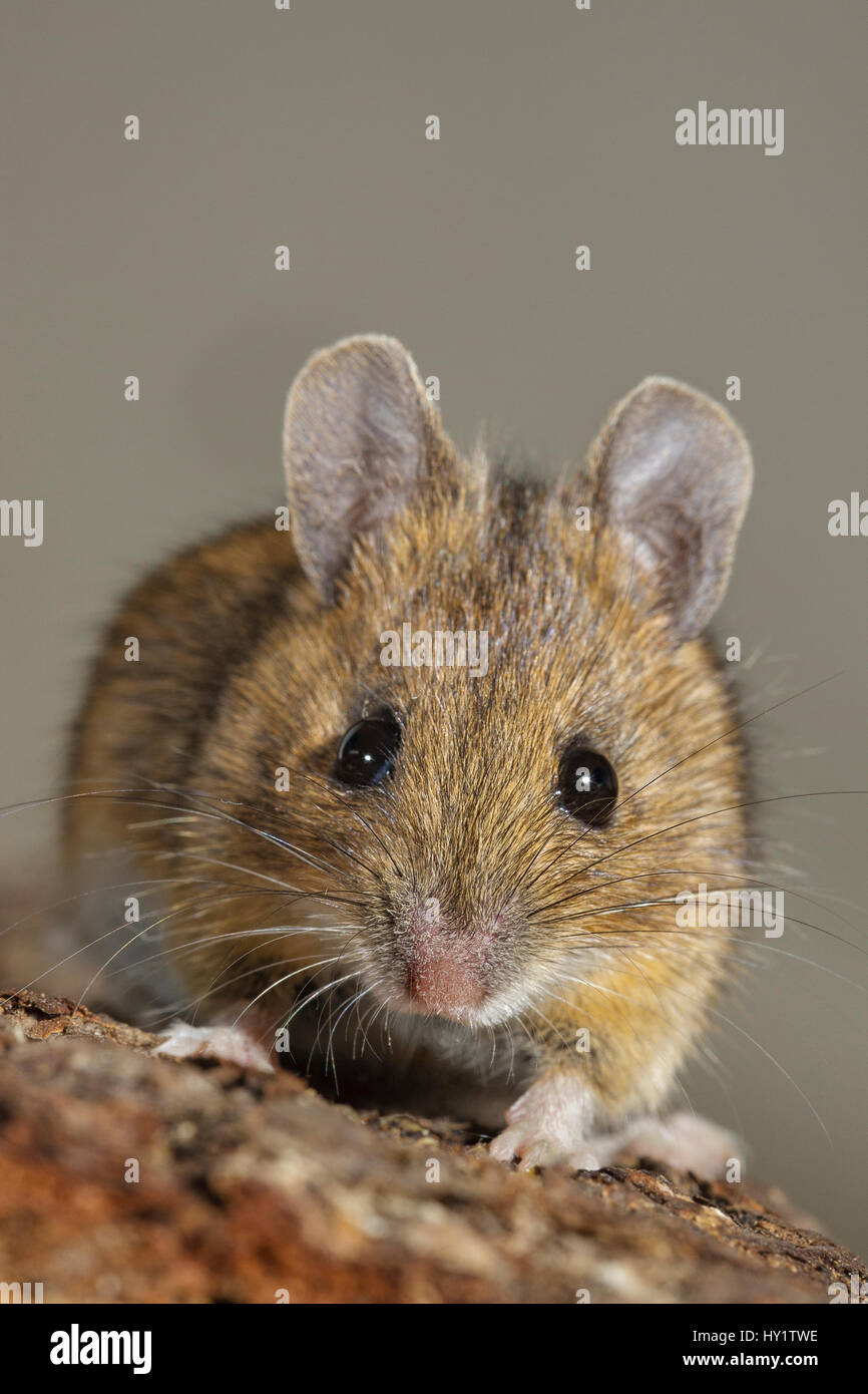 House mouse (Mus musculus) close-up portrait. Southern Norway. January. - Stock Image