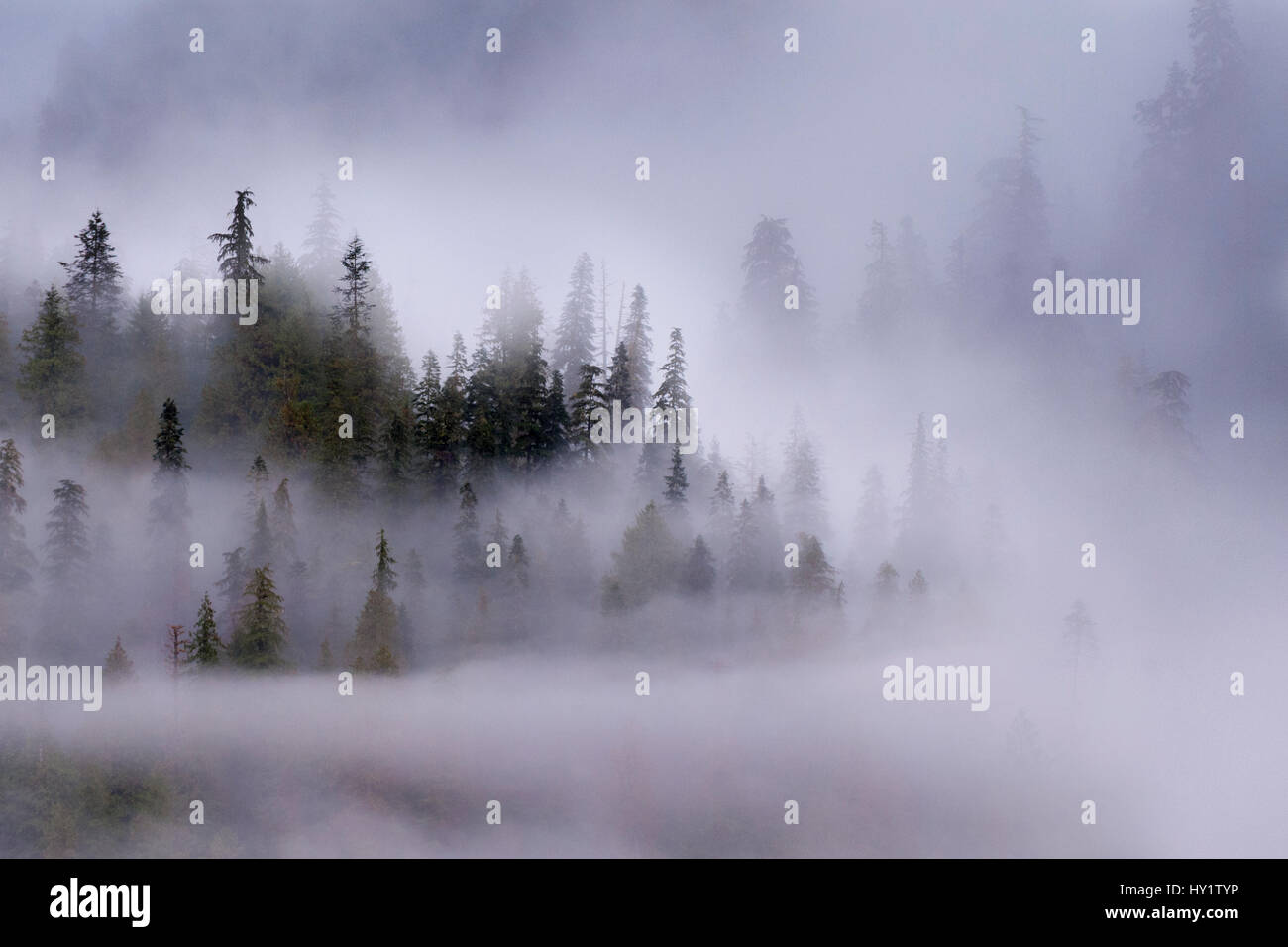 Early morning mist over coastal coniferous forest. Near Khutze Inlet, Great Bear Rainforest, British Columbia, Canada, - Stock Image