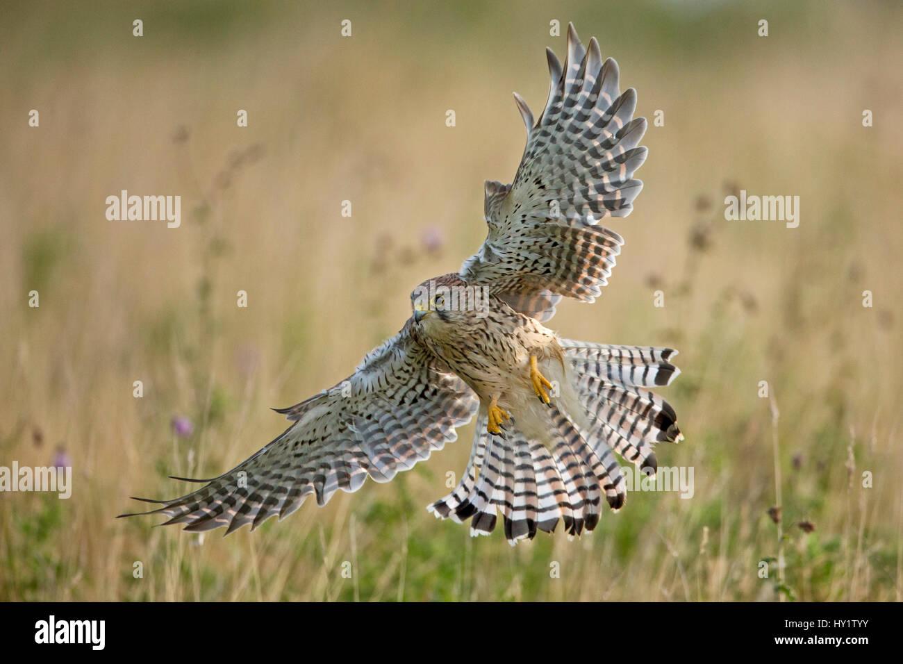 Kestrel (Falco tinninculus) swooping whilst hunting, UK - Stock Image