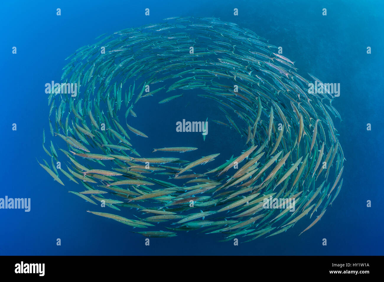 School of Blackfin barracuda (Sphyraena qenie) forming  circle in open water at Shark Reef, Ras Mohammed Marine - Stock Image