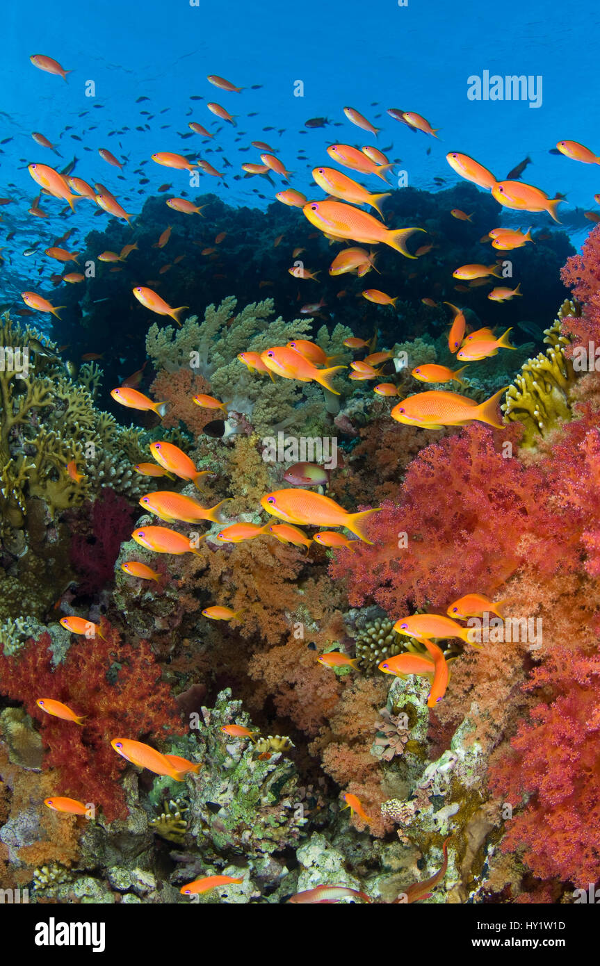 School of Scalefin anthias (Pseudanthias squamipinnis) on reef in the current feeding on plankton, with soft corals - Stock Image