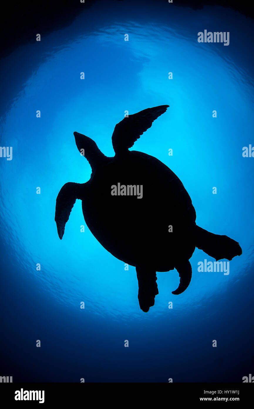 Silhouette of large male Hawksbill turtle (Eretmochelys imbricata) swimming in open water above coral reef. Boo - Stock Image