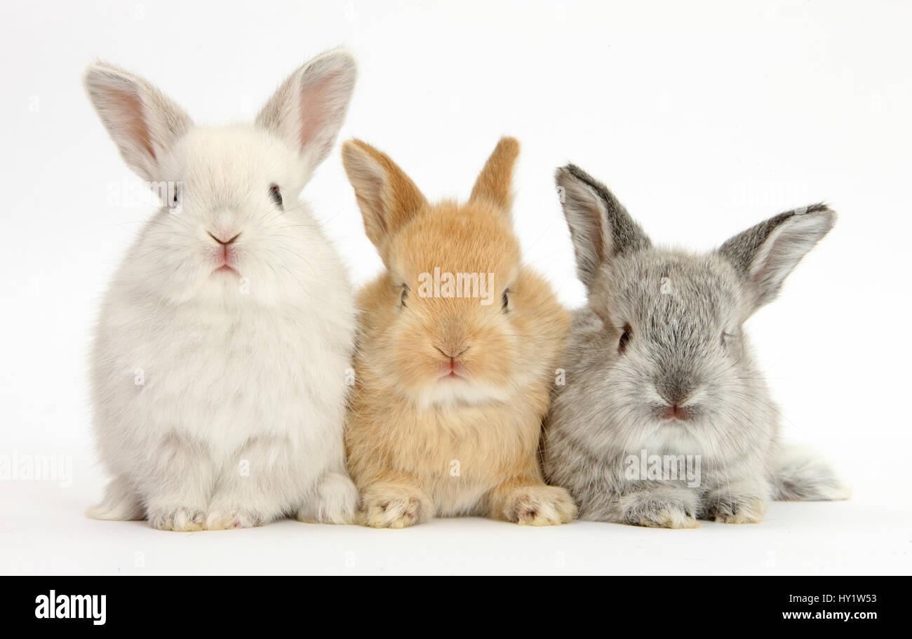 Three baby lop rabbits. - Stock Image