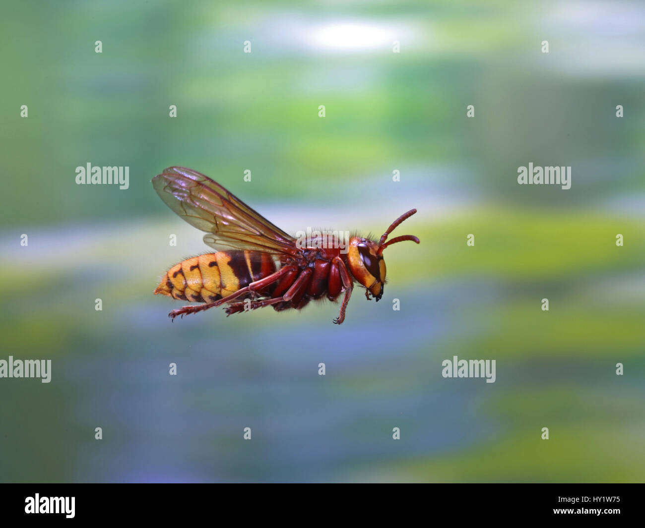 European hornet (Vespa crabro) worker in flight, Surrey, England, August. - Stock Image