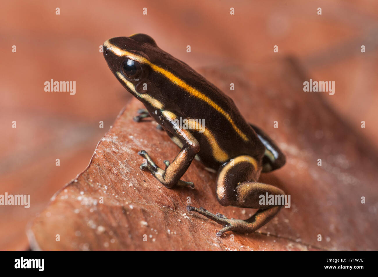 Yellow-striped Poison Dart Frog (Dendrobates truncatus) in leaf litter on forest floor, Paujil Nature Reserve, Magdalena - Stock Image