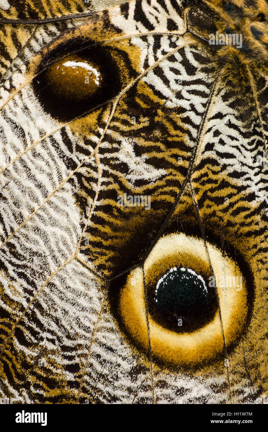 Close up detail of eye spots on wing of Owl-eye butterfly (Caligo sp), Amazonia, Ecuador, South America. Stock Photo