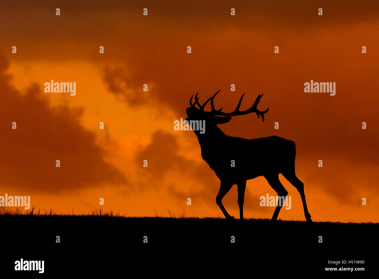 Red deer (Cervus elaphus) stag calling, Wales, UK. September. Taken in deer park - Stock Image
