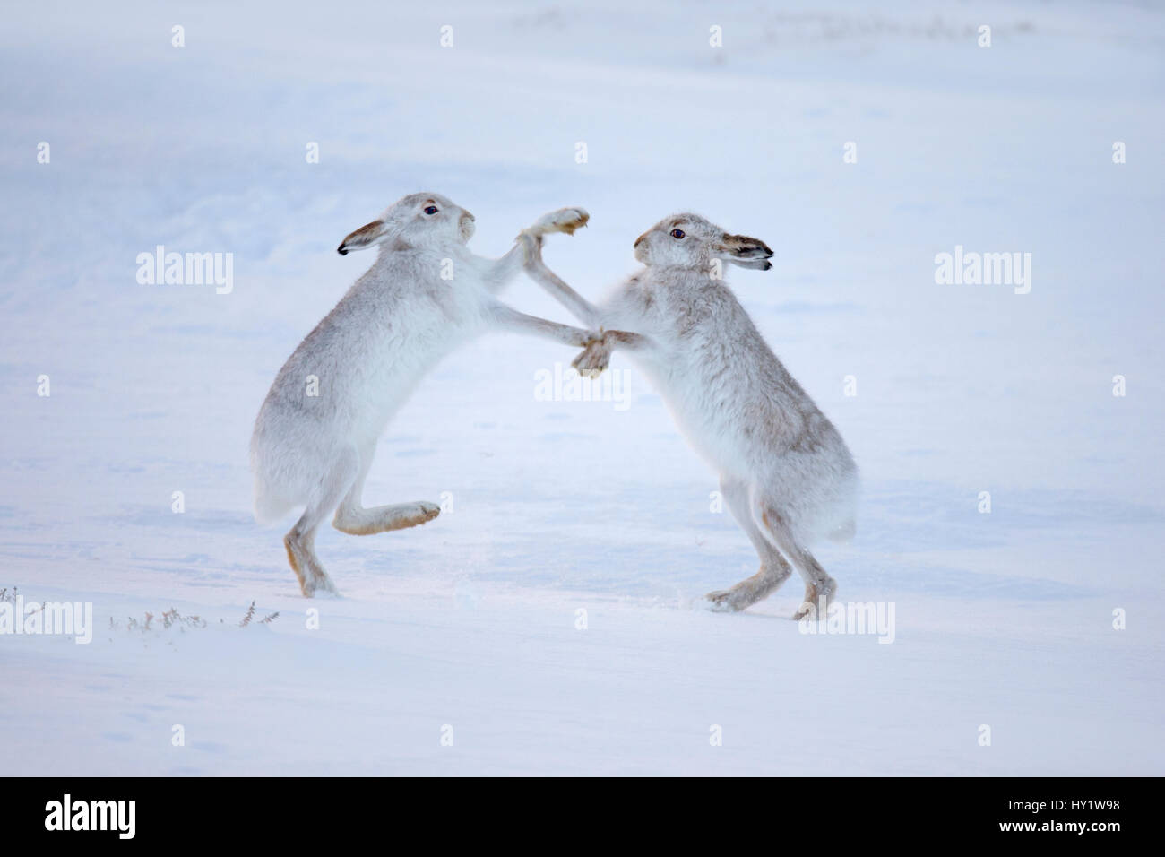 Mountain hares (Lepus timidus) boxing in snow, Scotland, UK, December. - Stock Image