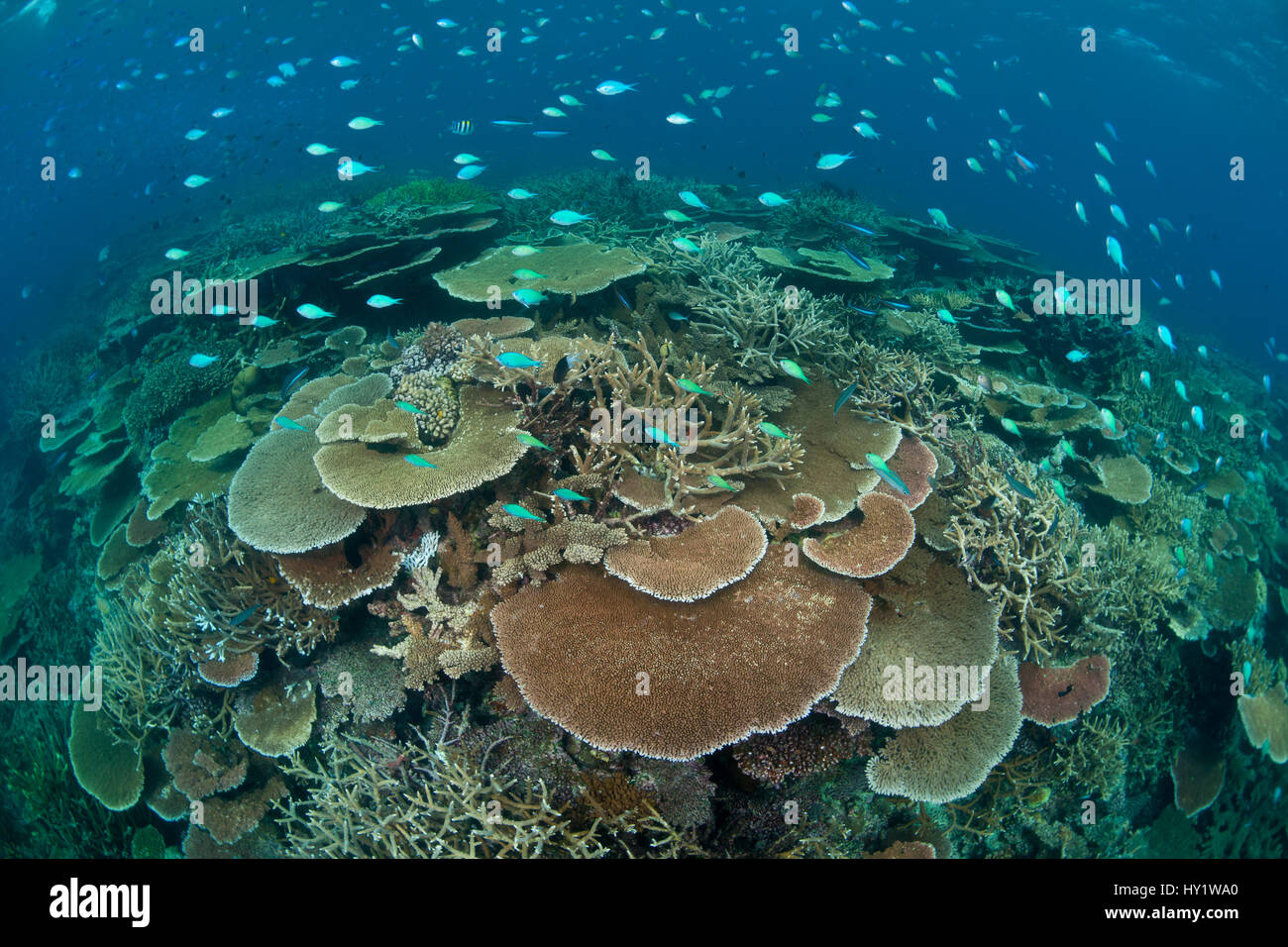Acropora table and staghorn corals with Bluegreen chromis (Chromis viridis) shoal. Great Barrier Reef, Queensland, - Stock Image
