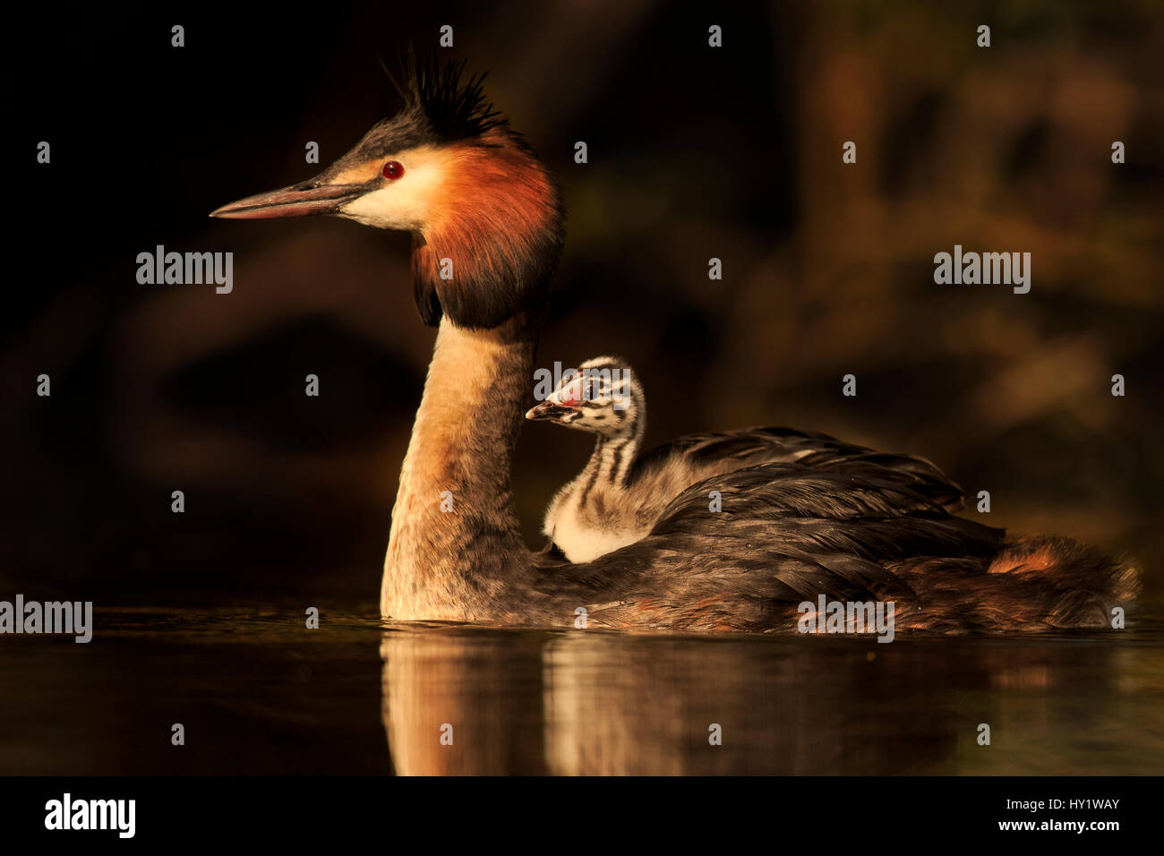 Great crested grebe (Podiceps cristatus cristatus) with young chick on back,  Cardiff, UK, April. - Stock Image