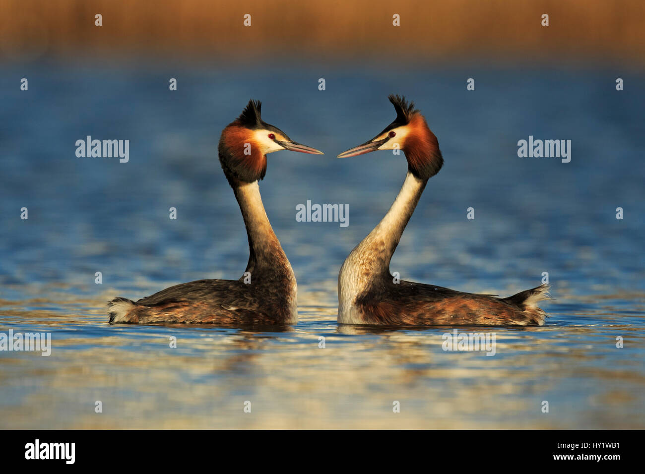Great crested grebe (Podiceps cristatus cristatus) courtship dance, Cardiff, UK, March. - Stock Image