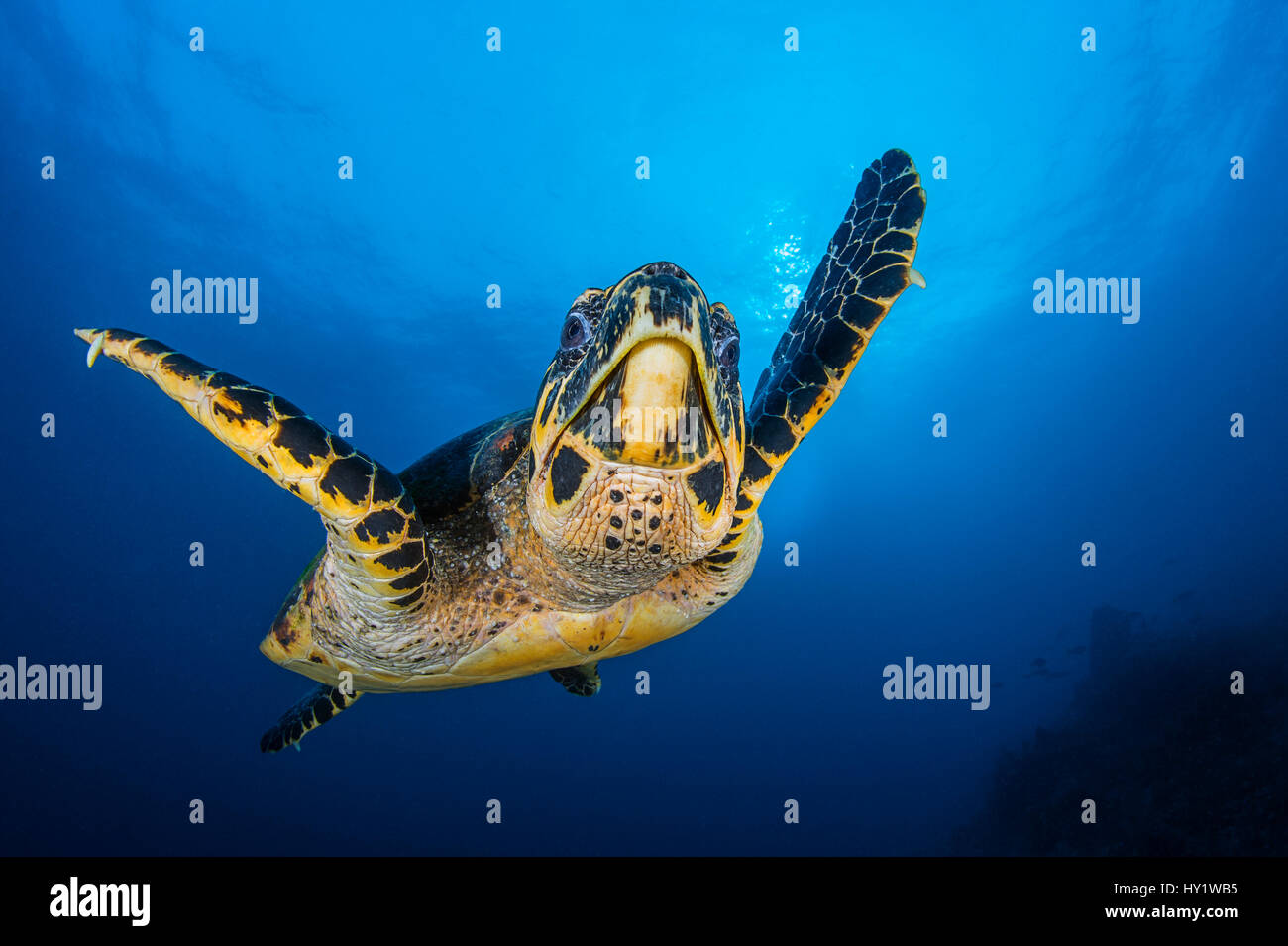 Hawksbill turtle (Eretmochelys imbricata) male swimming in open water above coral reef. Tank Rock, Fiabacet, Misool, - Stock Image