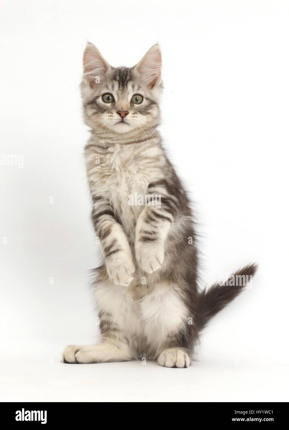 Silver tabby kitten, Loki, 11 weeks, standing on hind legs like a meerkat with front paws hanging. - Stock Image