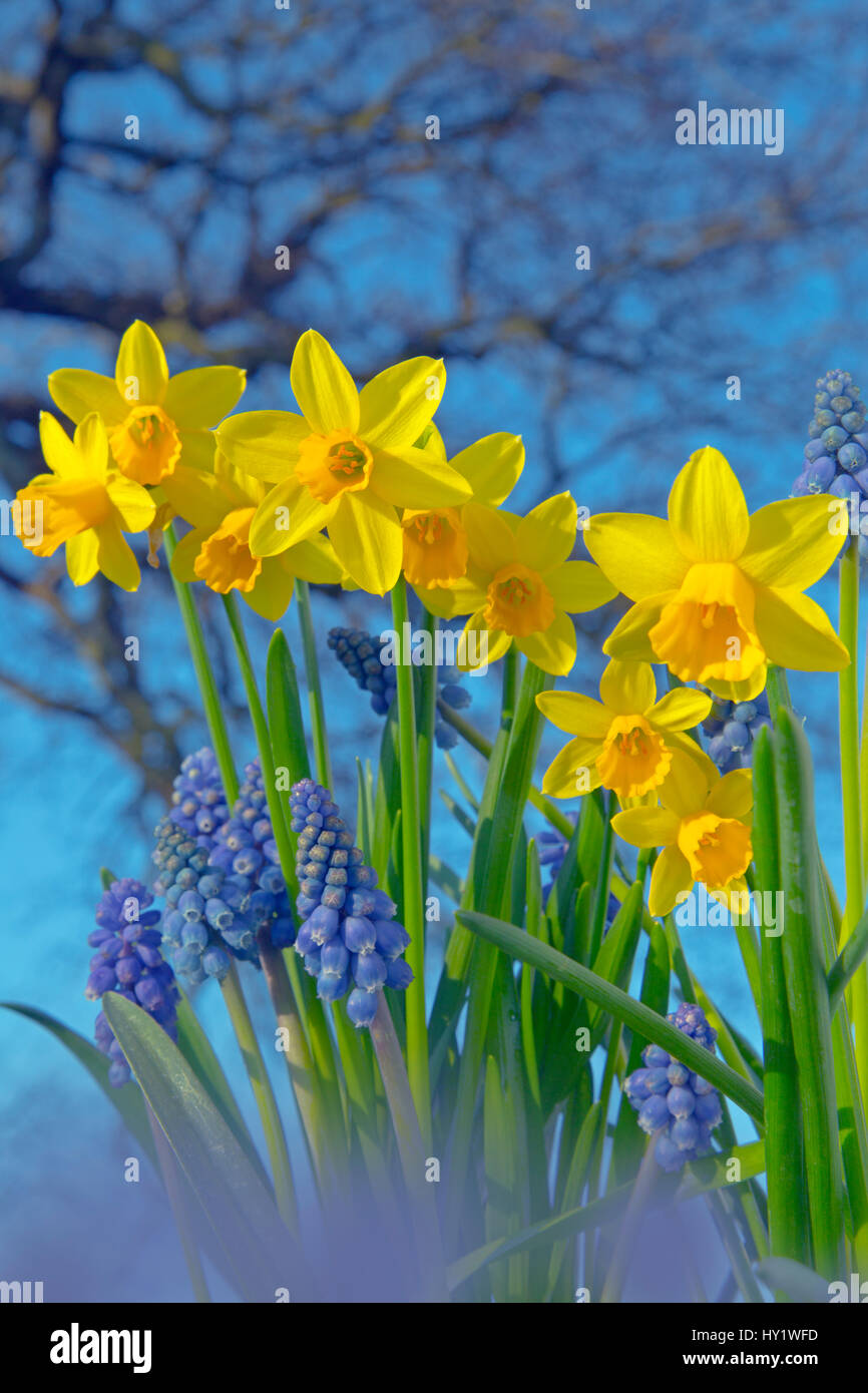 Grape hyacinths (Muscari) and Daffodils (Narcissus sp) in flower, Norfolk, UK, March. - Stock Image