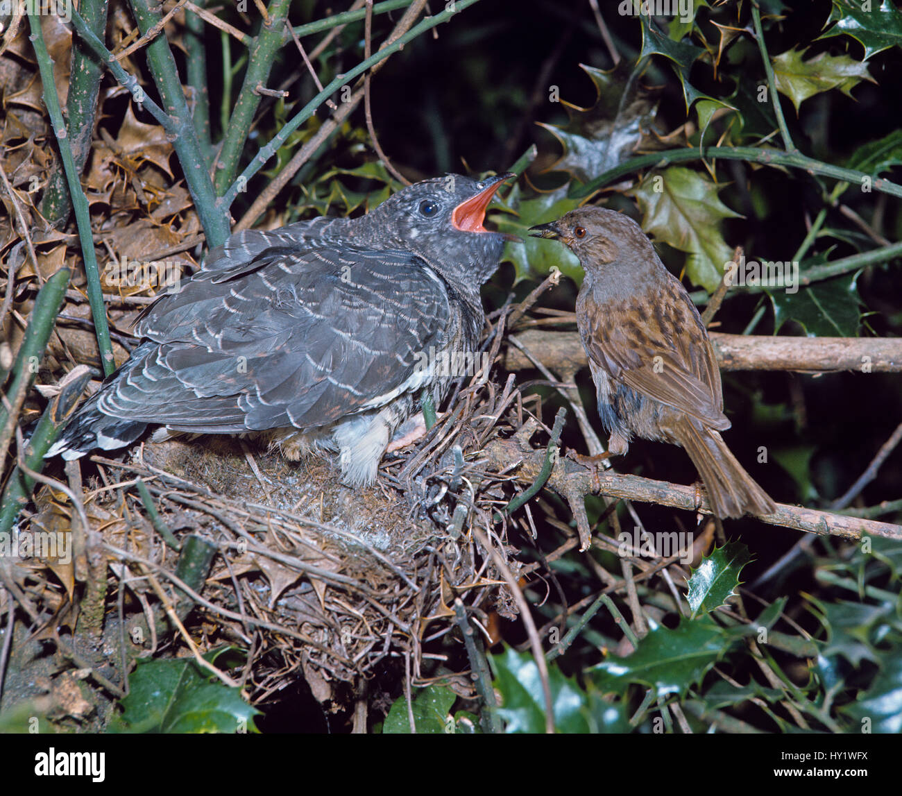 Dunnock (Prunella modularis) feeding young cuckoo in nest - Stock Image