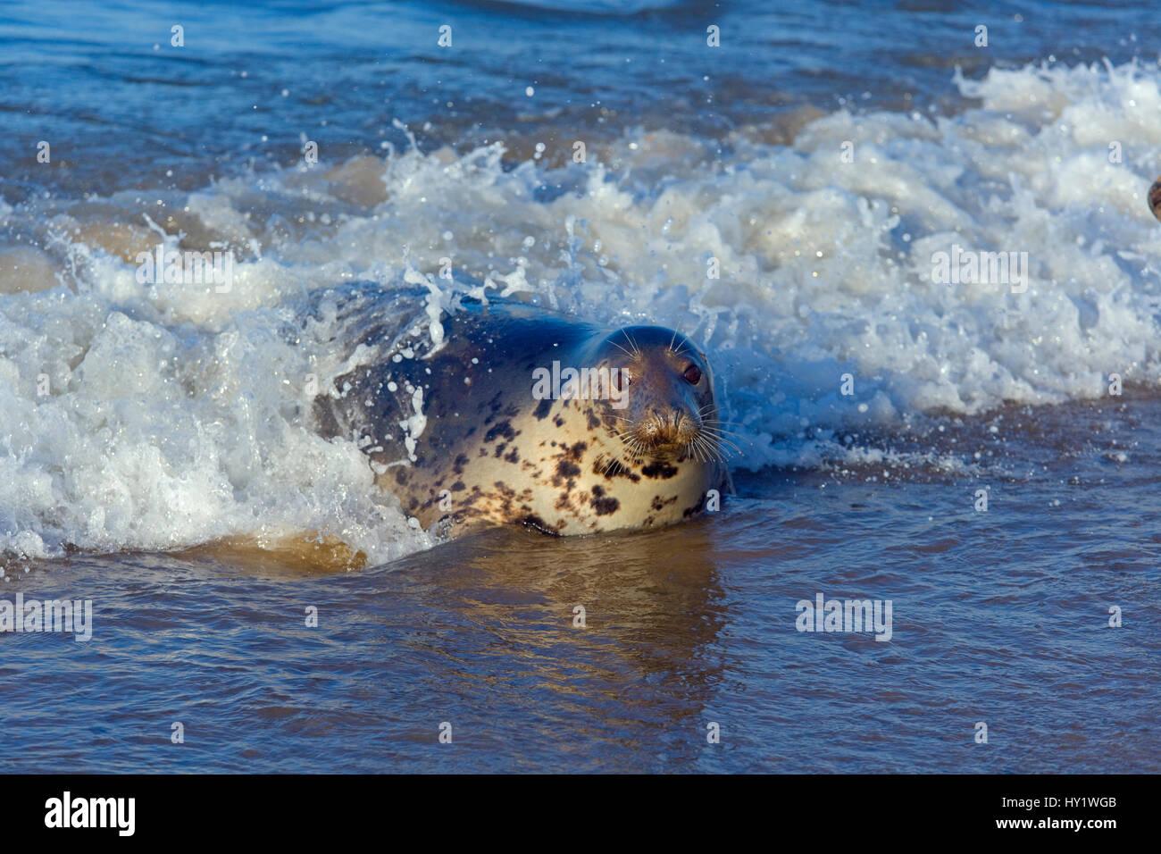 Grey seal (Halichoerus grypus) in breaking waves Blakeney Point, Norfolk, England, UK, December. Stock Photo