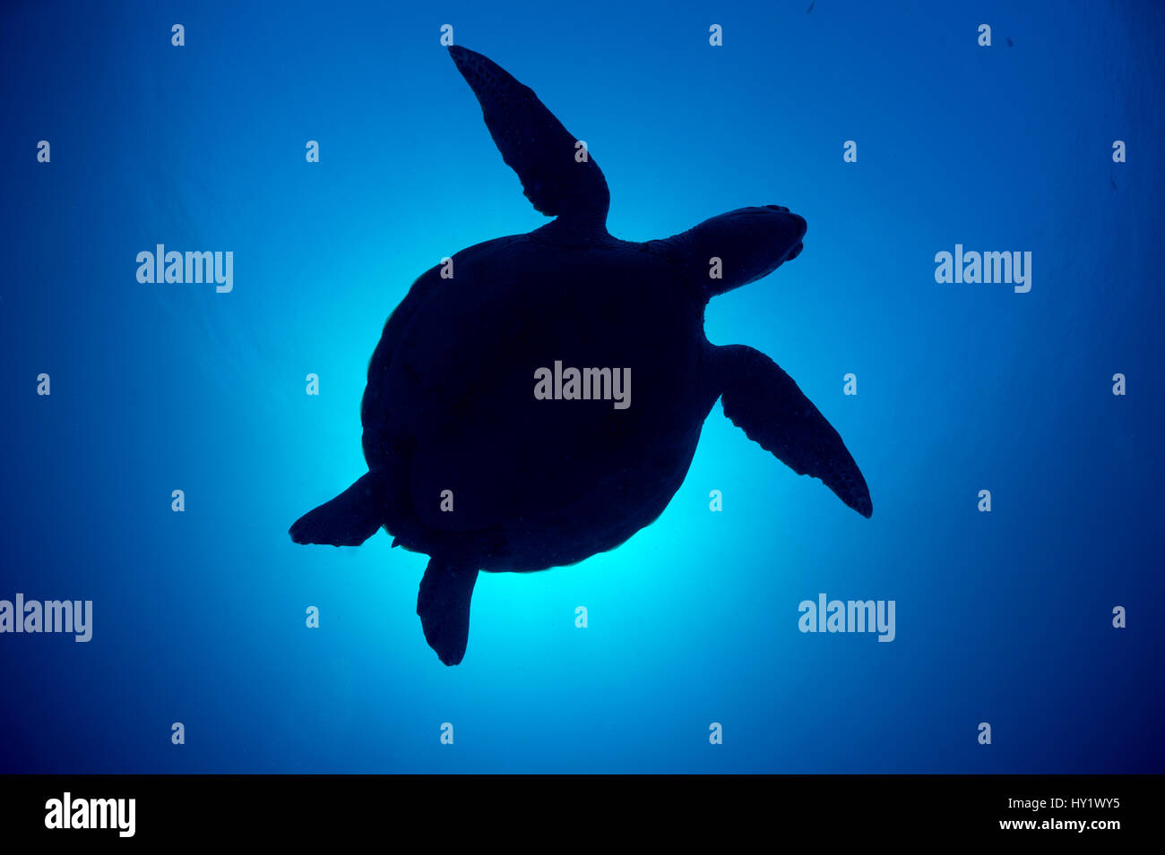 Silhouette of a Green sea turtle (Chelonia mydas) against sun in blue water above coral reef. Rock Islands, Palau, - Stock Image