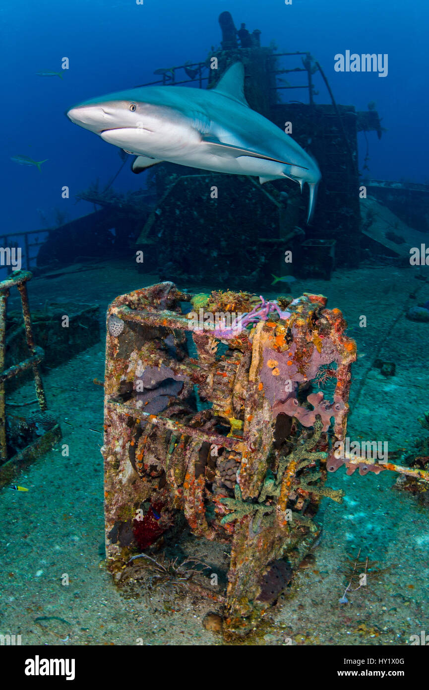 Female Caribbean reef shark (Carcharhinus perezi) cruises over Ray Of Hope wreck. Nassau, New Providence, Bahamas. - Stock Image