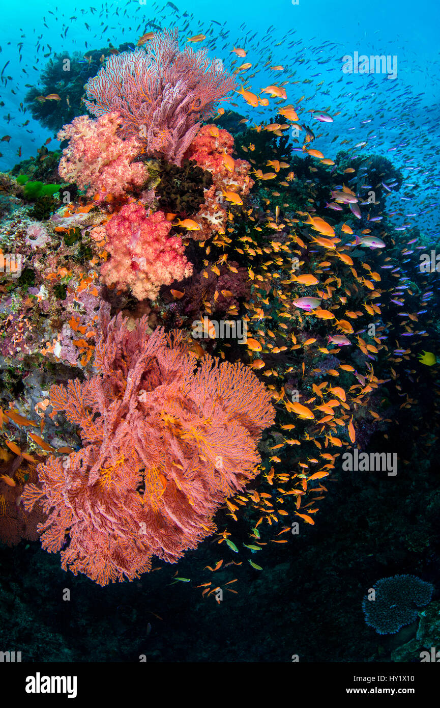 A colourful reef scene with seafans (Melithaea sp.) soft corals (Dendronephthya sp) and mainly female scalefin anthias Stock Photo