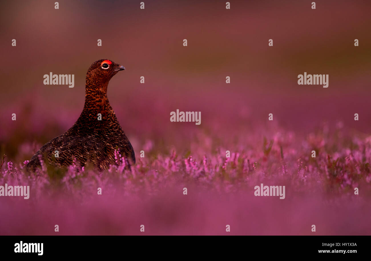 Red Grouse (Lagopus lagopus scotica) among heather. Scotland. August - Stock Image