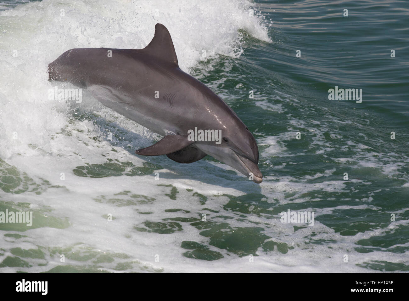 Atlantic bottlenose dolphin (Tursiops truncatus) leaping wild and natural. Boca Ciega Bay (part of Tampa Bay), Florida, Stock Photo
