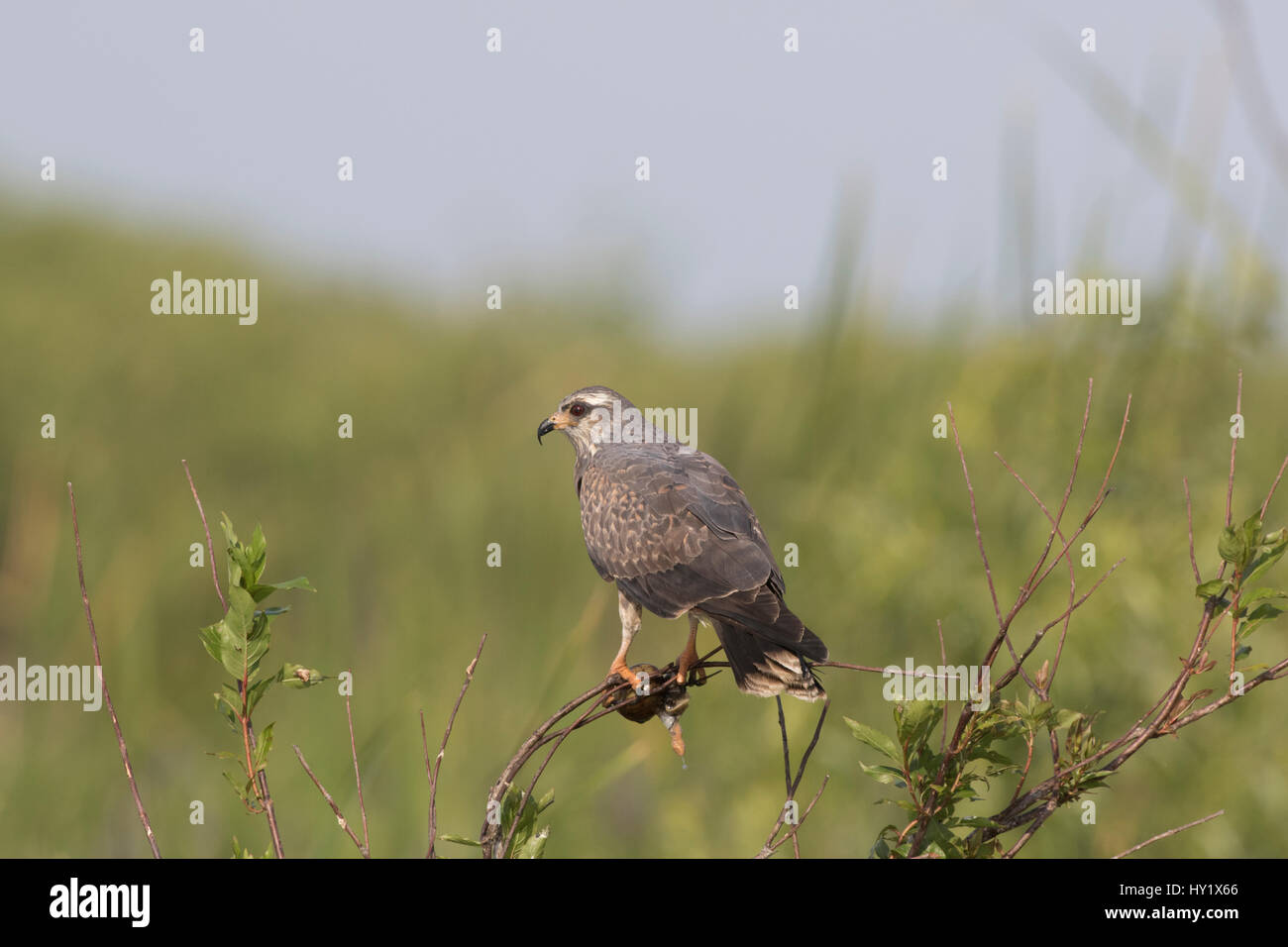 Snail kite (Rostrhammus sociabilus) clutching an Apple Snail, found in US only in southern Florida where it lives - Stock Image