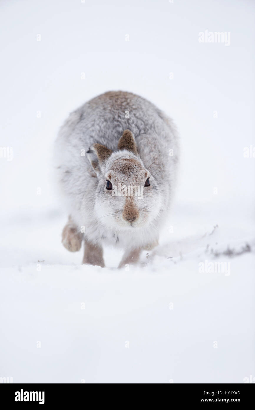 Mountain Hare (Lepus timidus) hopping towards camera, in snow. Scotland, UK. January. - Stock Image