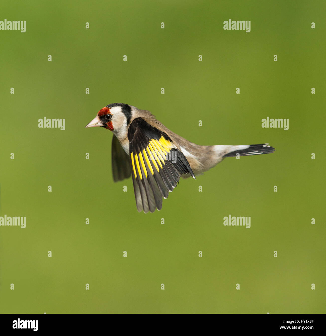 Goldfinch (Carduelis carduelis) in flight. Scotland, UK. May. Stock Photo