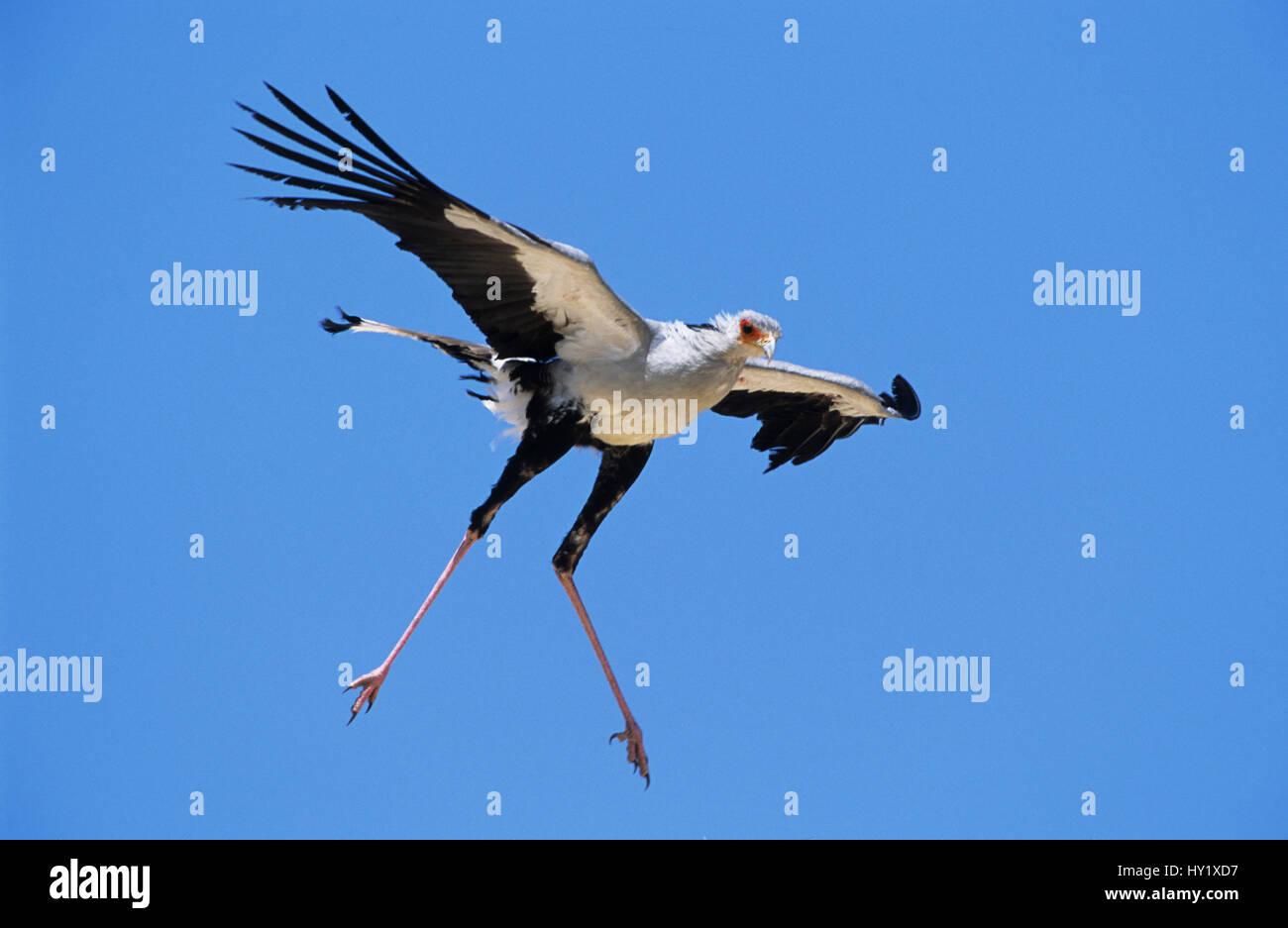 Secretary bird (Sagittarius serpentarius) flying. Kgalagadi Transfrontier Park, South Africa. Stock Photo